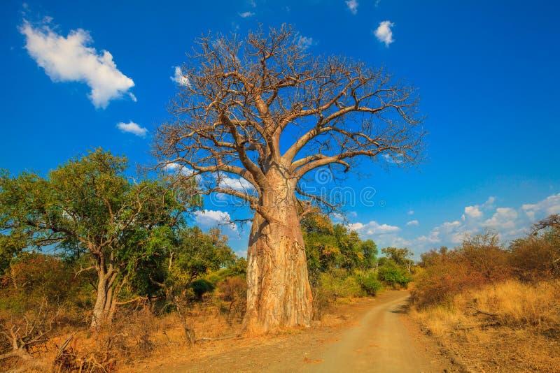 Baobab en Suráfrica foto de archivo