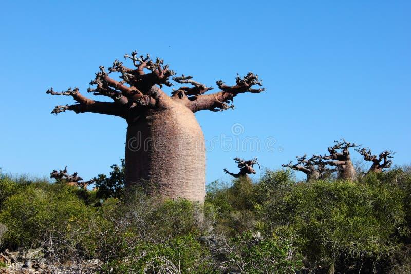 Baobab en un bosque fotos de archivo