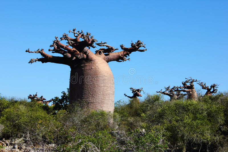Baobab in a forest stock photos