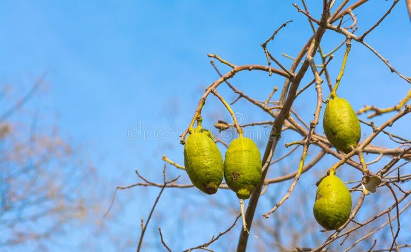 Baobab fruits stock photo