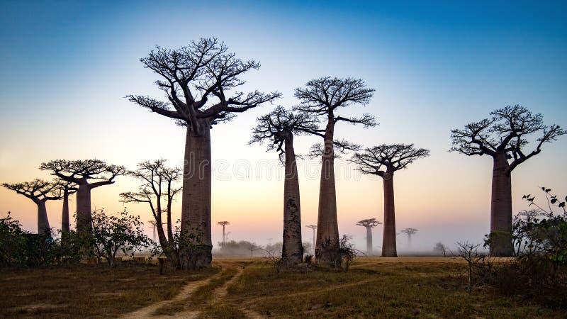 Baobab-Gasse an der Dämmerung - Madagaskar stockbild