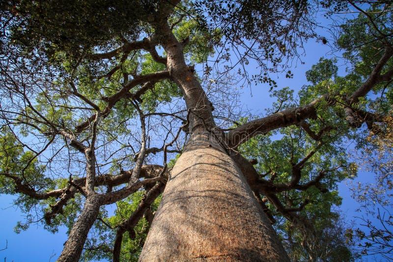 Baobab, Kirindy-bos, Morondava, Menabe-Gebied, Madagascar royalty-vrije stock afbeelding