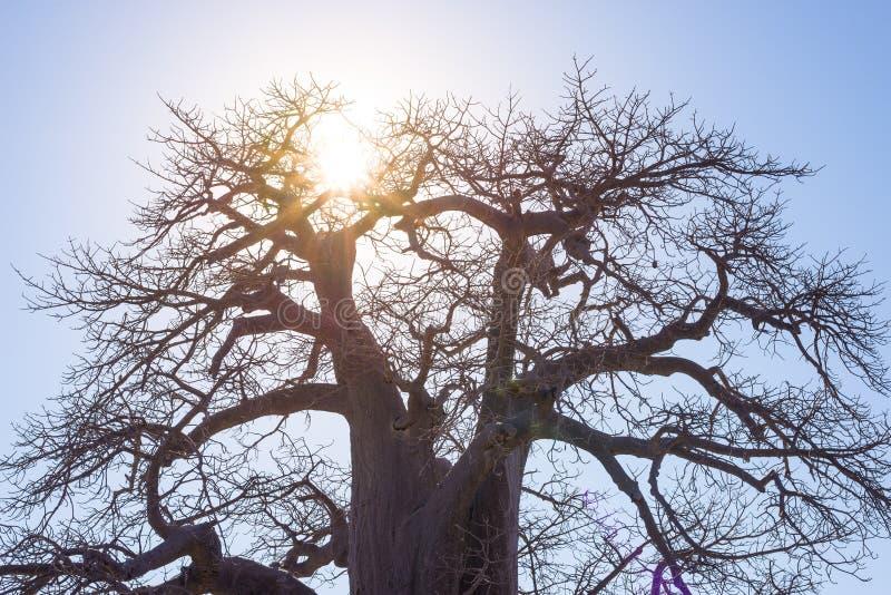 Baobab med solstjärnan i panelljuset, afrikansk savannah med klar blå himmel på soluppgång Botswana en av det attraktivaste loppe arkivfoto