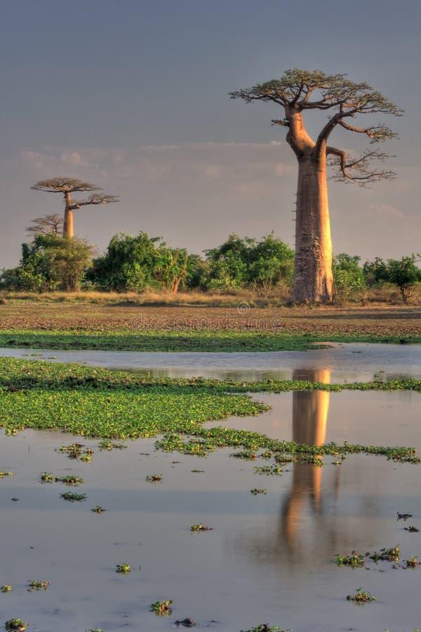 Baobab met bezinning royalty-vrije stock afbeelding