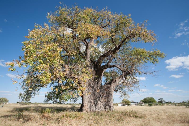 Baobab in Namibië stock foto