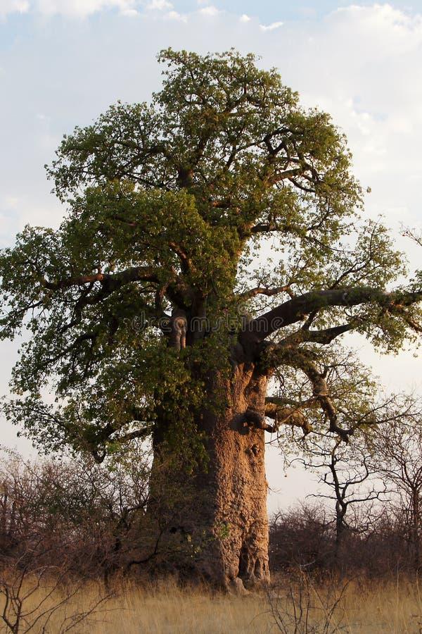 Baobab, Namibia, África fotografía de archivo