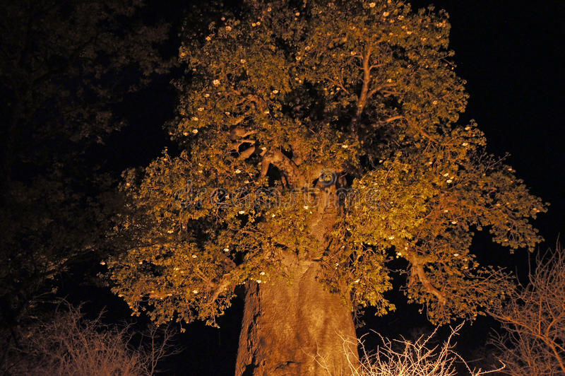 Baobab, Namibia, África imagen de archivo libre de regalías