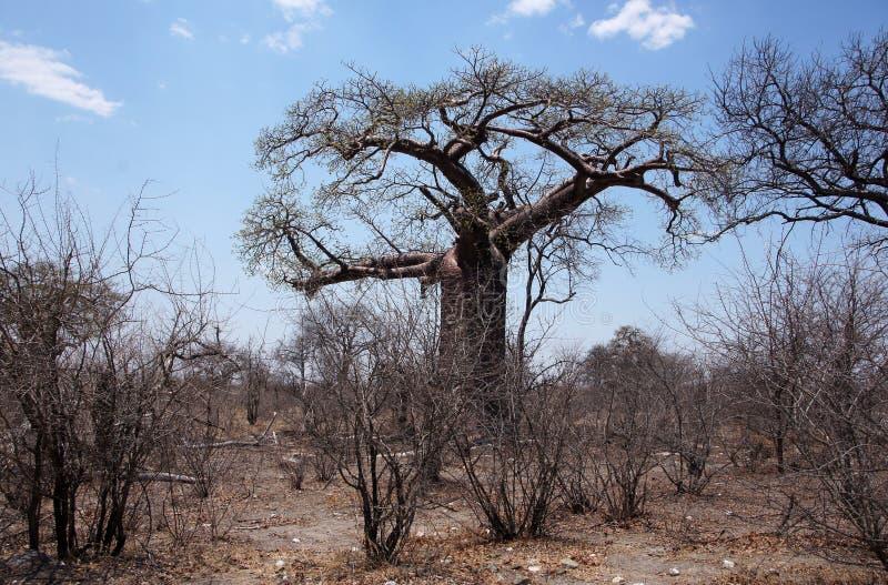 Baobab, Namibia, África fotos de archivo