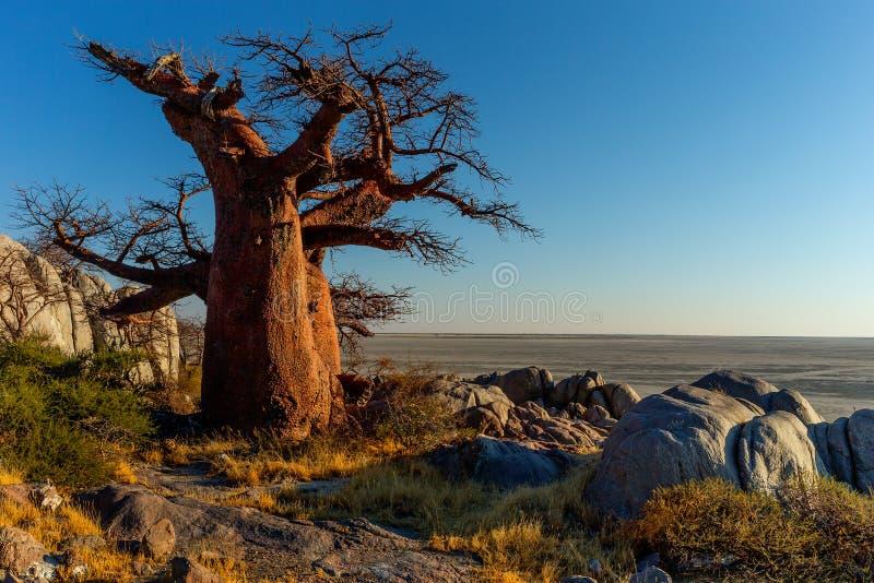 Baobab nel deserto di namib fotografia stock