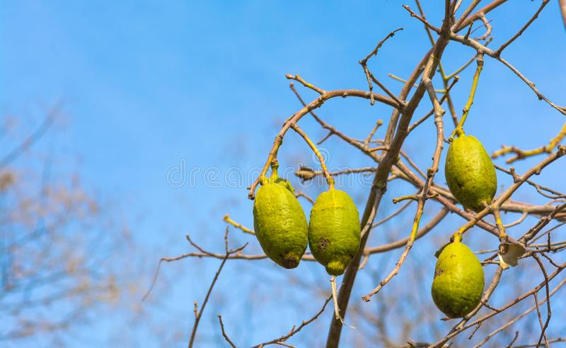 Baobab owoc zdjęcie stock