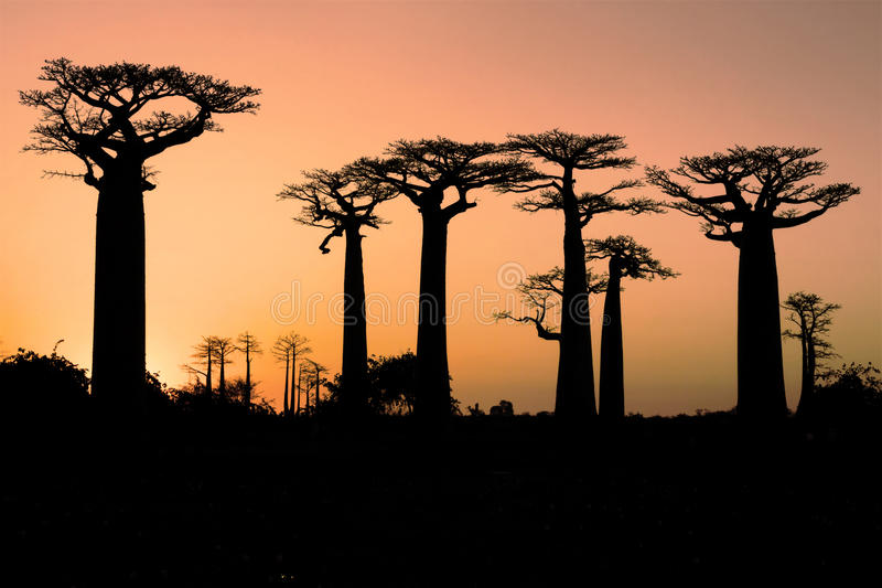 Baobab på solnedgången fotografering för bildbyråer