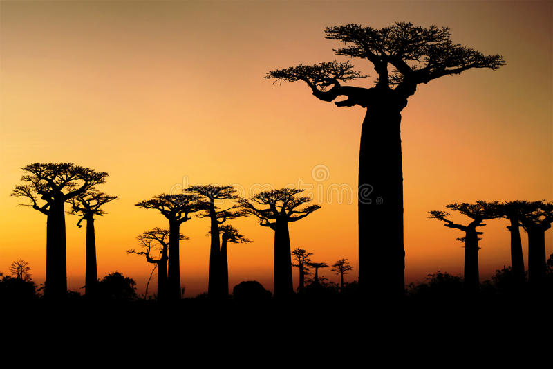 Baobab på solnedgången royaltyfri foto