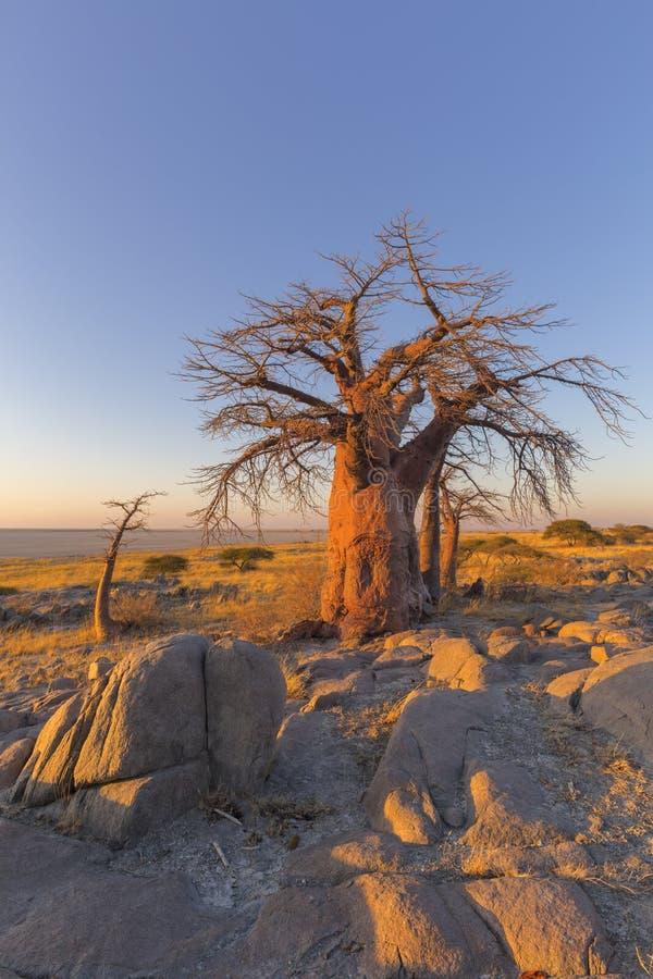 Baobab and rocks at sunrise royalty free stock photography