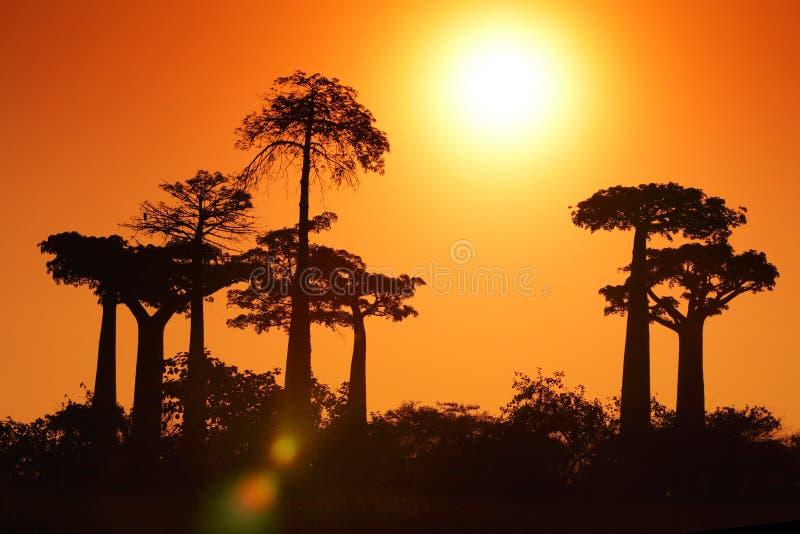 Baobab stock images