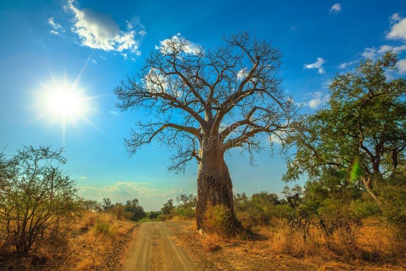 Baobab Suráfrica de la puesta del sol foto de archivo libre de regalías