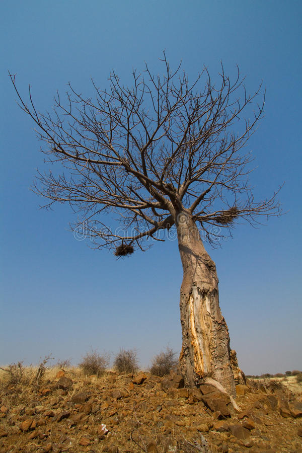 Download A baobab tree stock image. Image of blue, weather, rock - 21024037