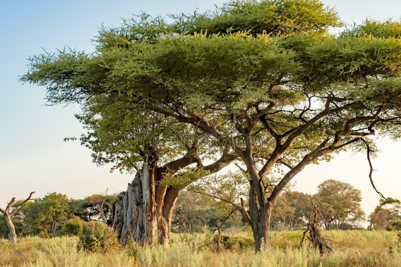 Broken Baobab tree and Acacia in Botswana royalty free stock images