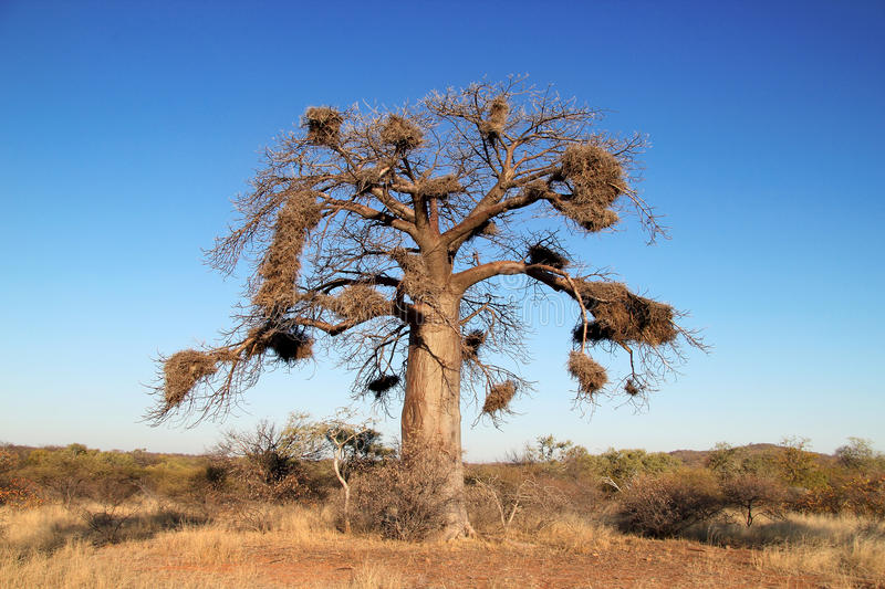 Baobab Tree. African Baobab tree (Adansonia) against a blue sky with multiple bird nests royalty free stock image