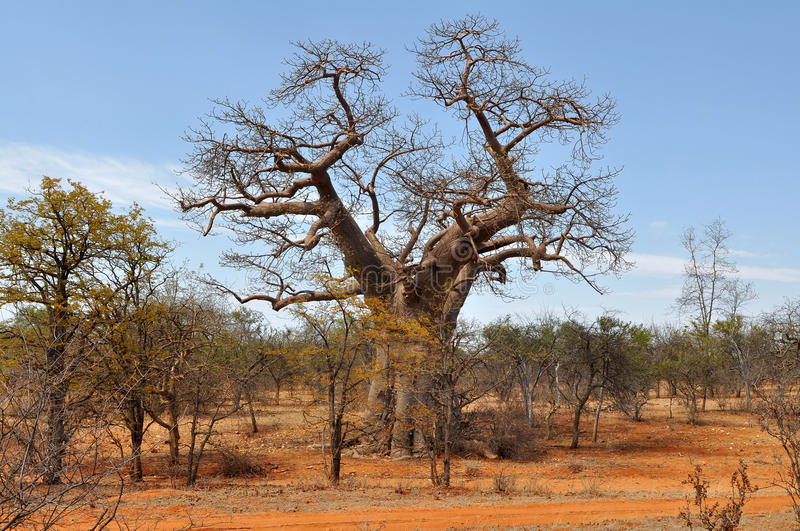 Baobab tree and brick colored soil,Limpopo,S. A. Photo taken in Musina nature reserve,province limpopo stock photography