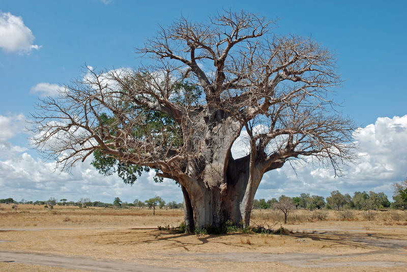 Baobab tree in dry African savanna - Tanzania. African baobab tree ( Adansonia digitata ) in dry savannah landscape with cloudy sky - Tanzania stock photos