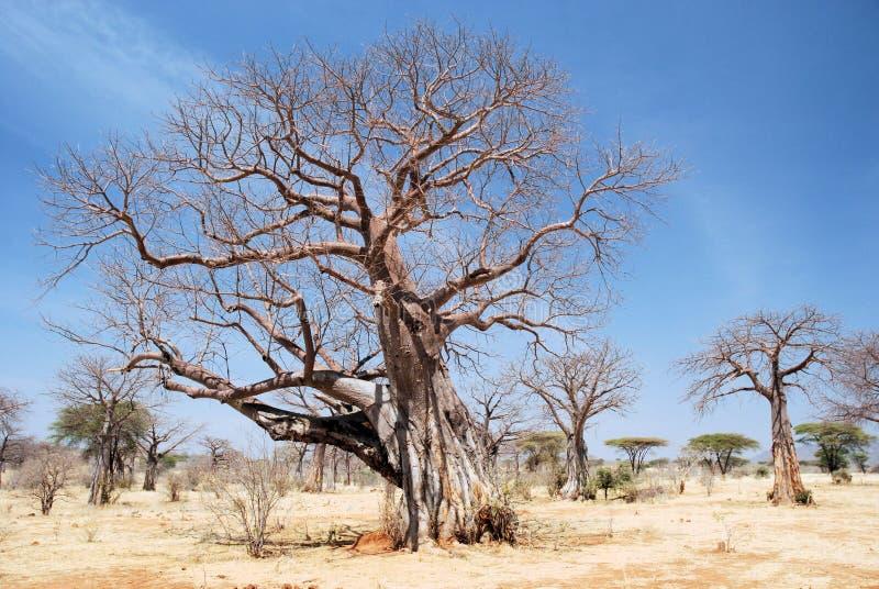 Baobab tree in dry African savanna - Tanzania. African baobab trees ( Adansonia digitata ) in dry savannah landscape Ruaha National Park - Tanzania - Africa royalty free stock images