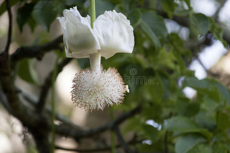 Baobab Tree Flower. The Baobab tree Adansonia digitata is an ancient African tree that may live to be over 1,000 years old. The white flowers hang from the stock photography