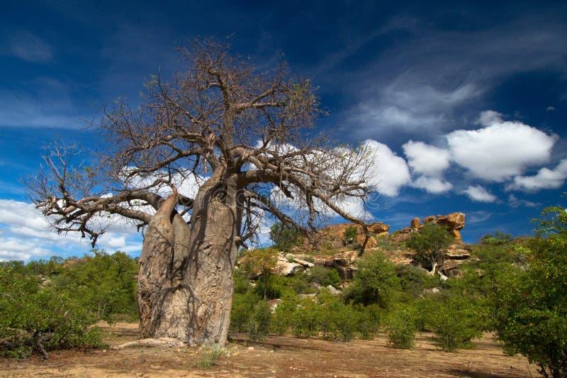 Baobab tree landscape stock image