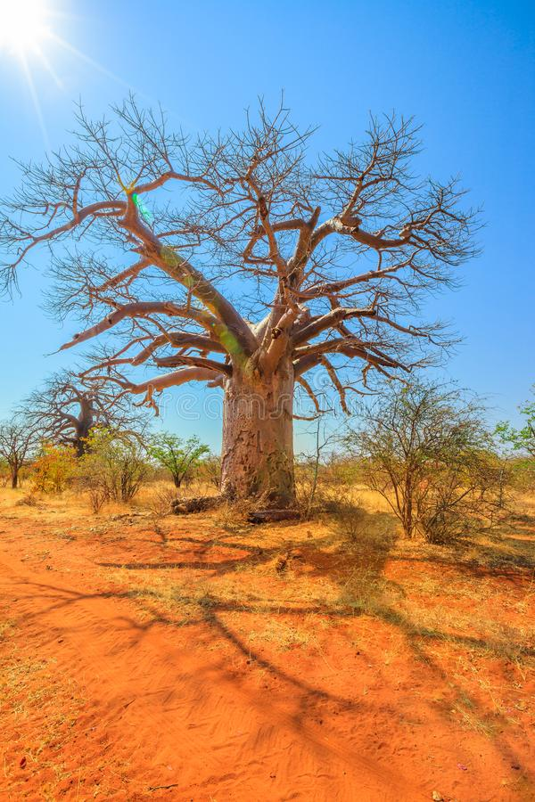 Baobab tree Limpopo. Baobab tree also known as monkey bread trees, tabaldi or bottle trees, in Musina Nature Reserve, South Africa. Baobab forest reserve in royalty free stock photography