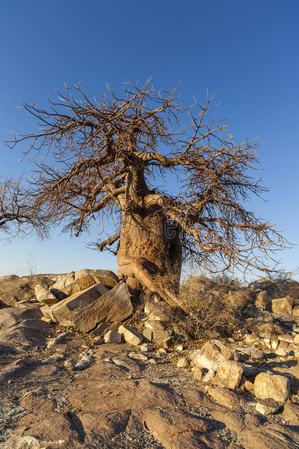 Baobab Tree and rocks stock photo