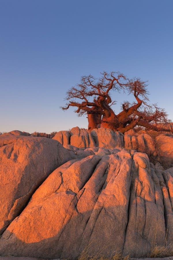 Baobab tree and rocks royalty free stock photos