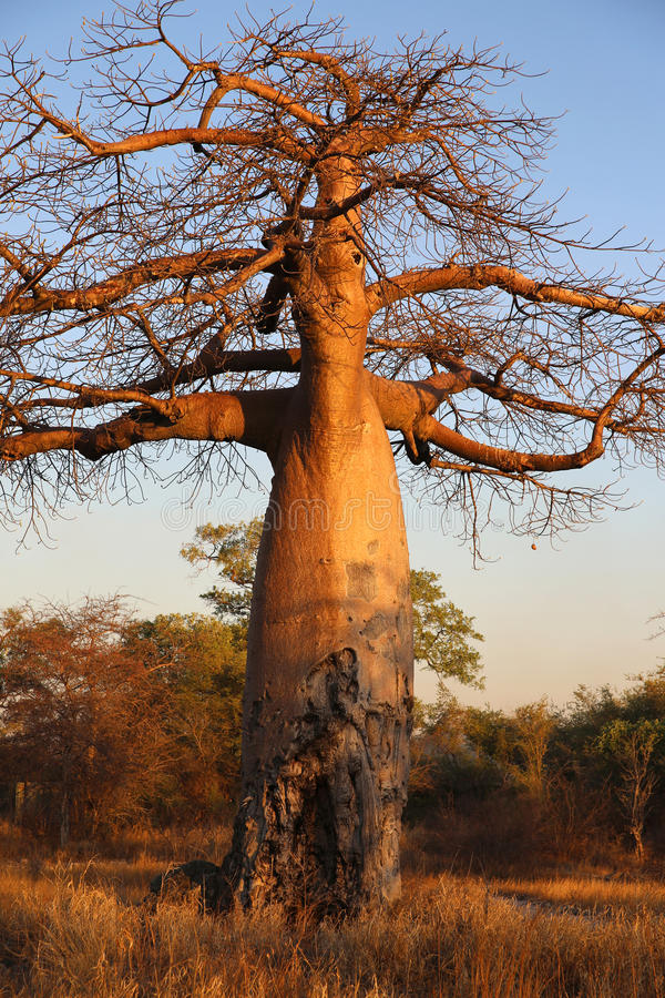 Download Baobab Tree stock photo. Image of bush, bread, bumpy - 35872988