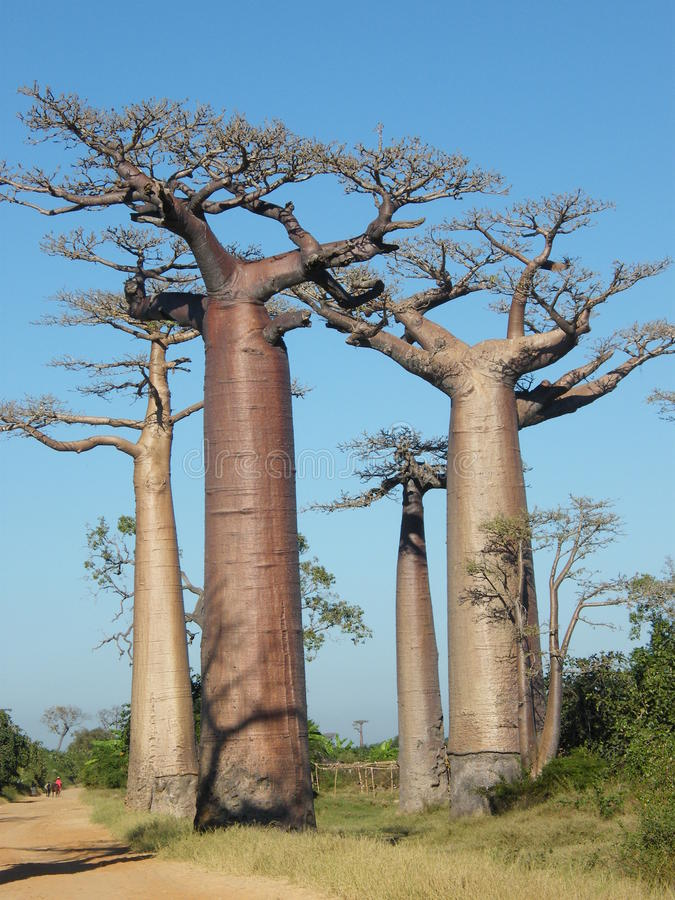 Baobab Trees stock photography
