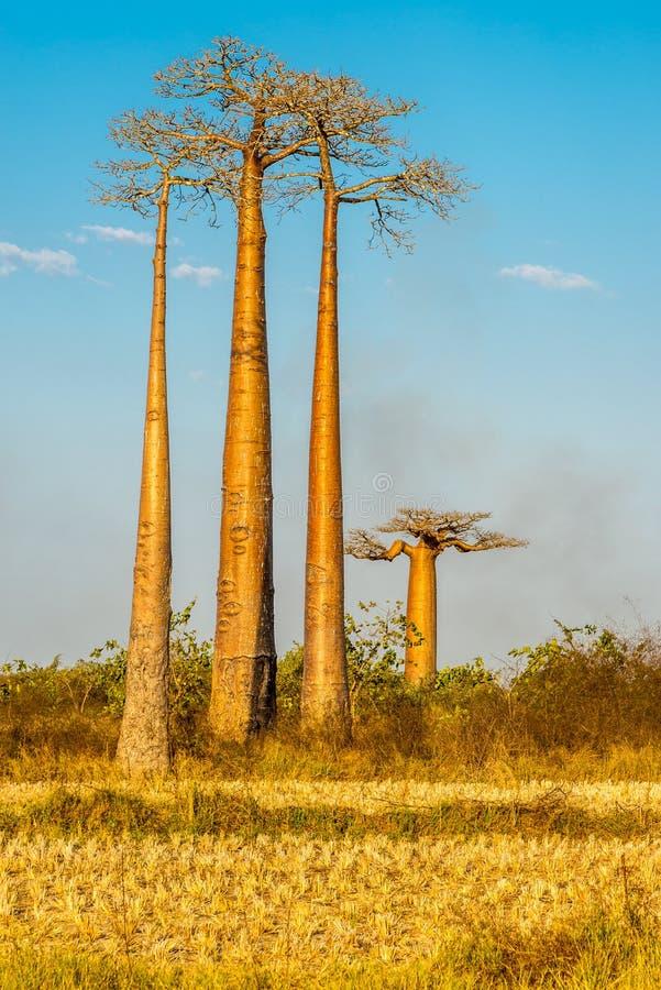 Free Baobab Trees Stock Photo - 59009190