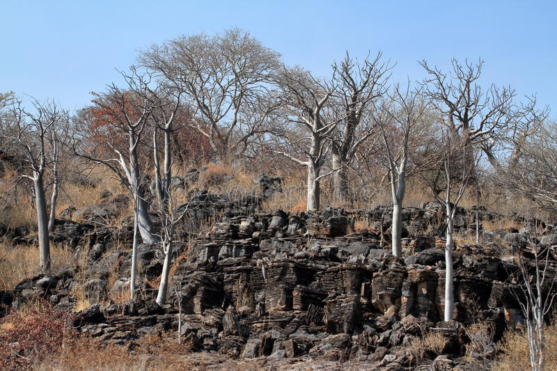Baobab trees in the African savannah stock images