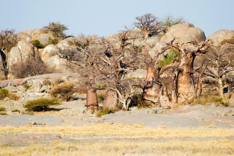 Baobab Trees at Kubu Island stock images