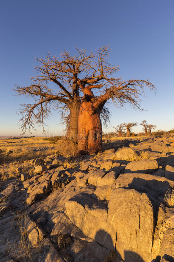 Baobab trees and rocks in early morning light royalty free stock photography