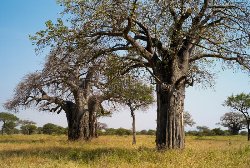 Baobab Trees in the Savannah royalty free stock photo