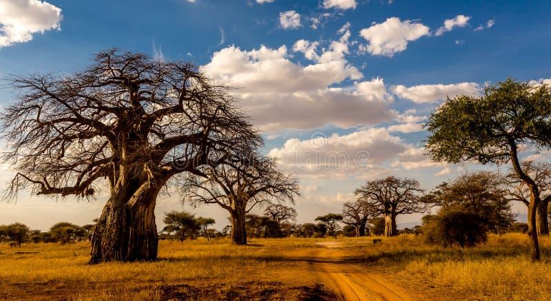 Baobab trees in Tanzania royalty free stock photography