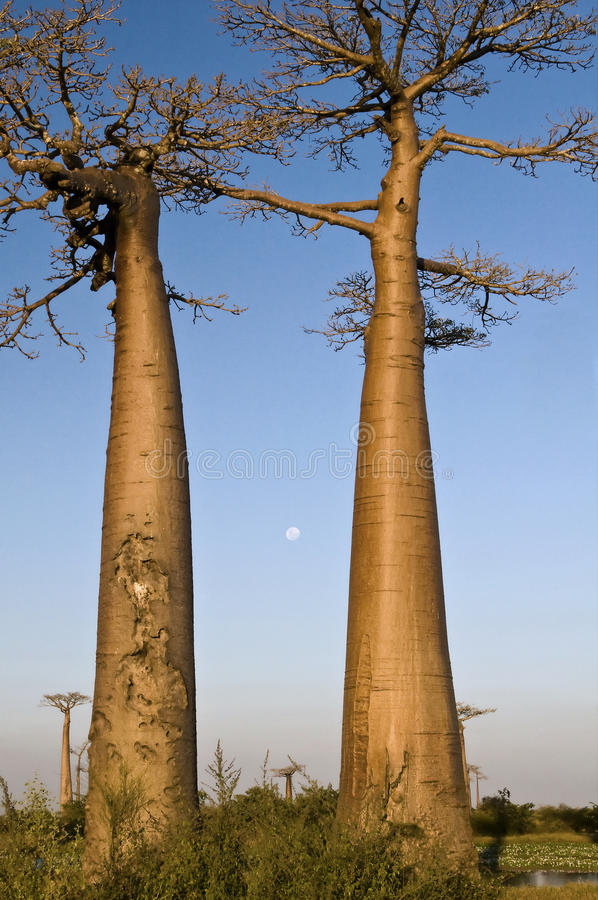 Baobab und der Vollmond lizenzfreie stockbilder