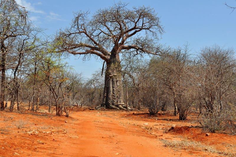 Baobab y suelo rojo en África fotos de archivo libres de regalías
