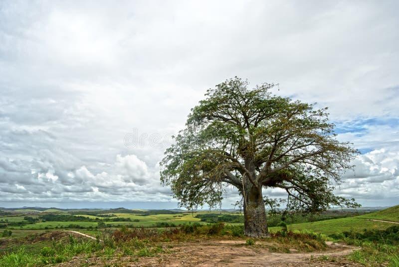 Baobabbaum stockfotografie