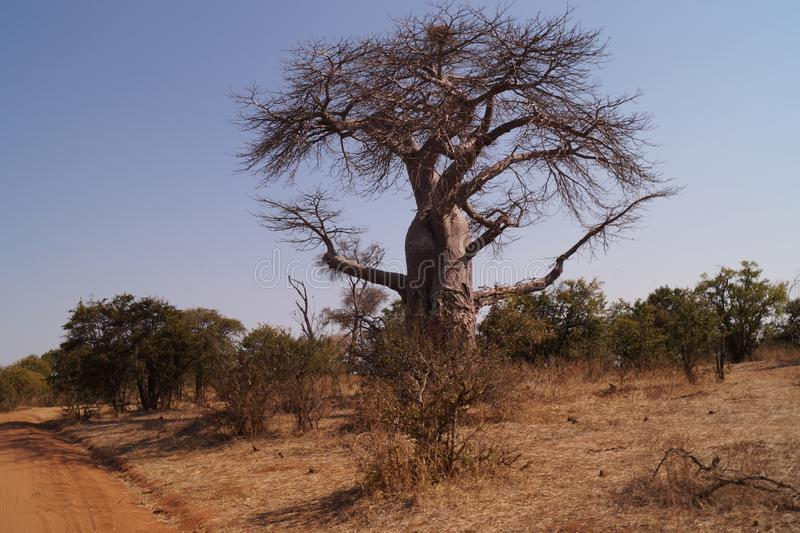 Baobabbaum in Afrika stockfoto