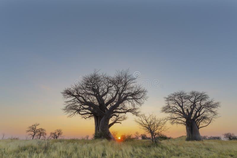 Baobabbomen en geel gras bij zonsondergang royalty-vrije stock afbeeldingen
