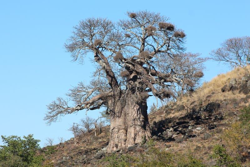 Baobabboom 0n een heuvel stock foto