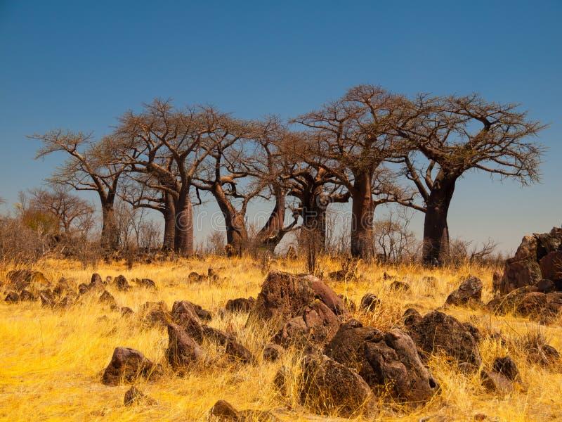Baobabparadijs dichtbij Savuti stock afbeeldingen