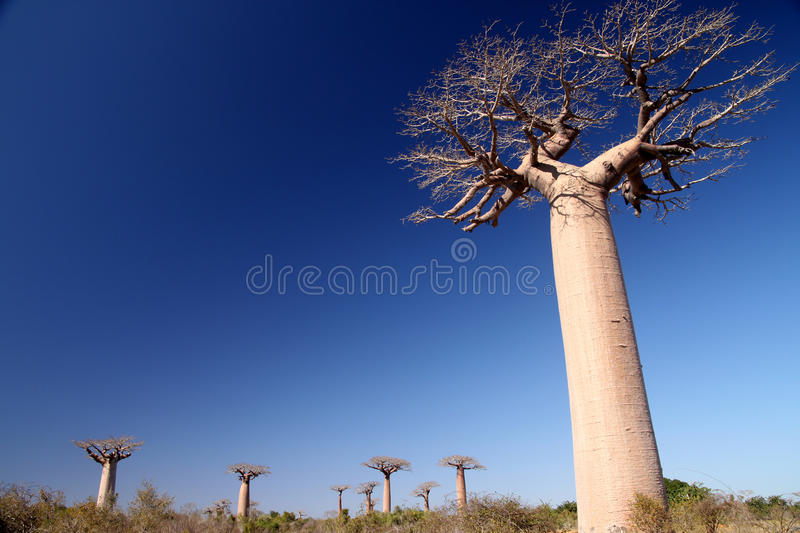 Download Baobabs stock photo. Image of madagascar, background - 16578870