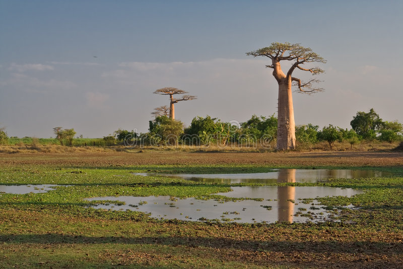 Baobabs foto de stock royalty free