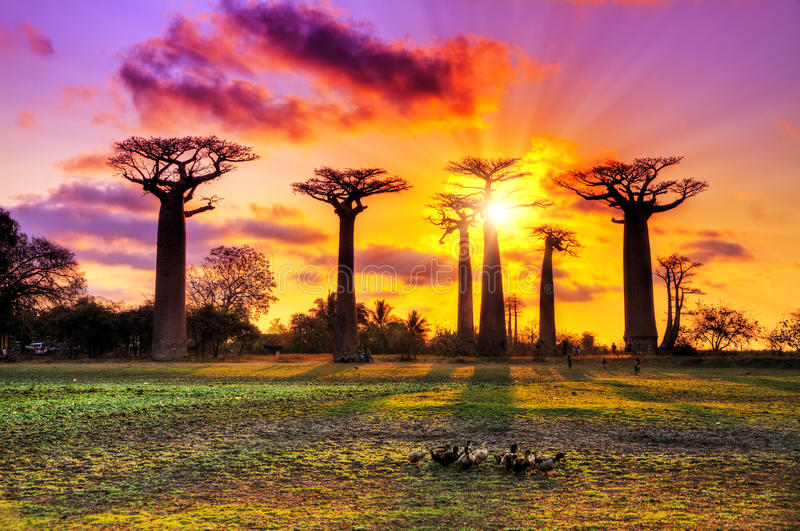 Baobabs cor-de-rosa fotografia de stock