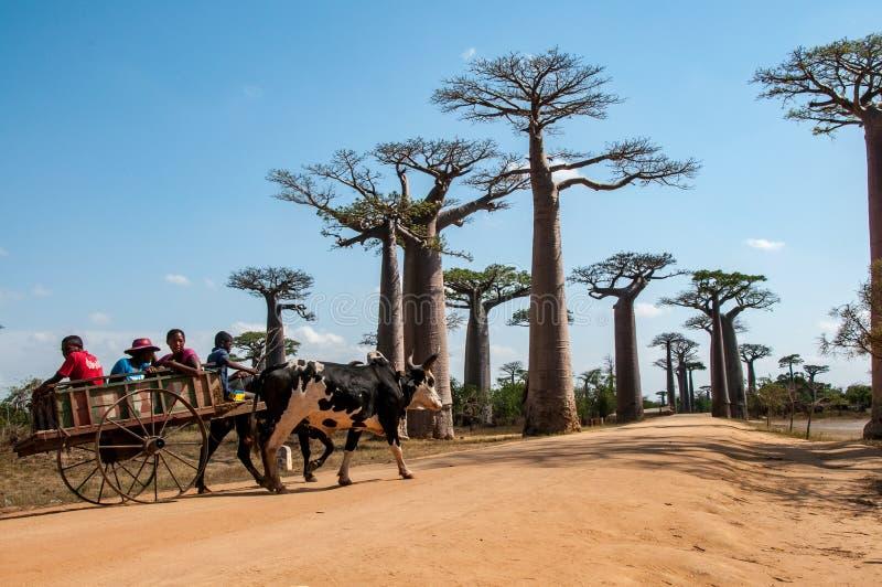 Baobabs del DES de Allée: un carro del granjero foto de archivo libre de regalías
