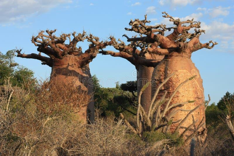 Baobabs du Madagascar images libres de droits